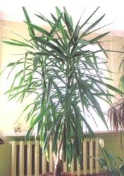 Юкка, финиковая пальма