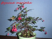 комнатные растения фуксии