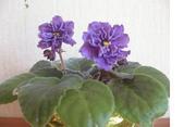 Продаются комнатные растения фиалки Минск