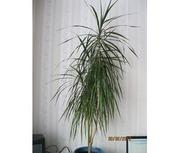 Продам комнатное растение - драцена