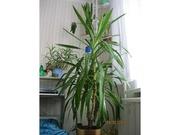 Продам комнатное растение ЮККА