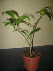 Саженец мандарина комнатный плодоносящий