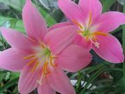 Зефирантес белый и розовый