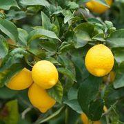 Лимон Киевский крупноплодный саженцы