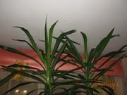 Пальма Юкка 2, 6-2, 7м
